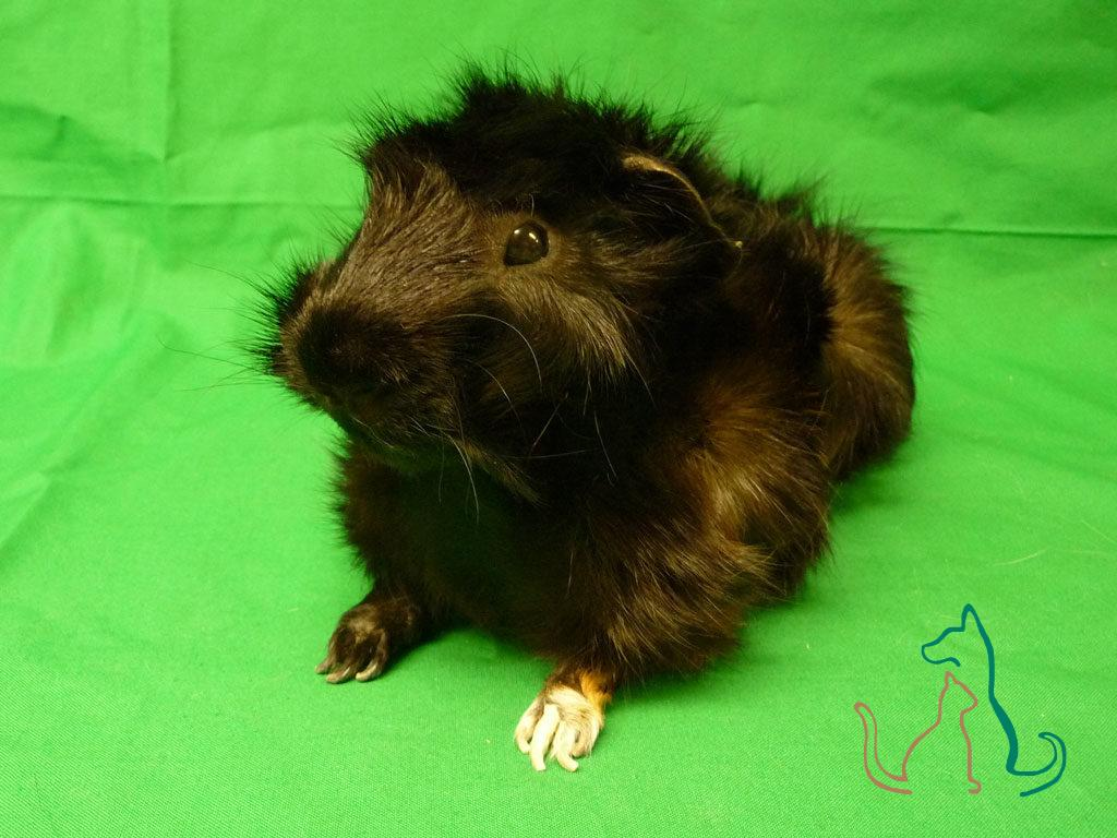 freeze dried pet Guinea pig