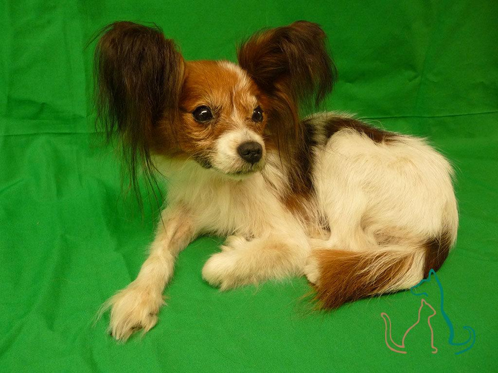 freeze dried pet Papillon