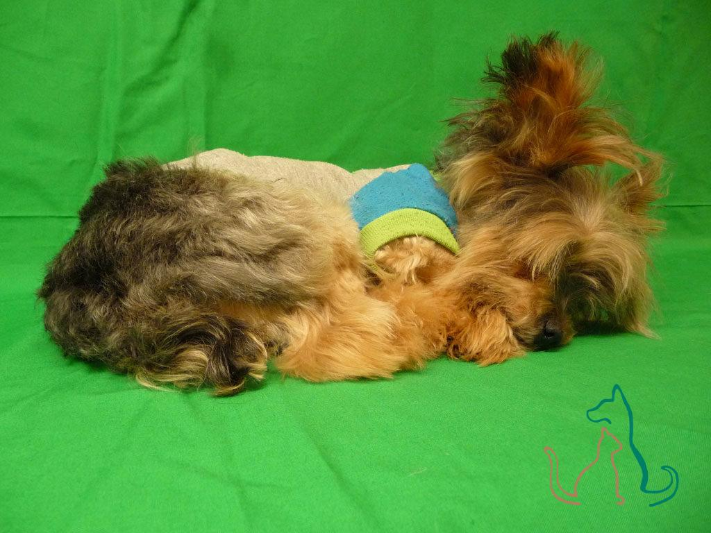 freeze dried pet Yorkshire Terrier
