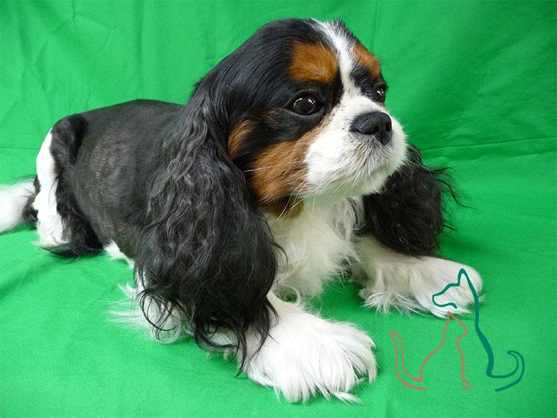 freeze dried King Charles Spaniel
