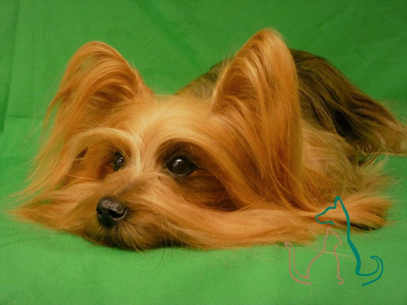 freeze dried Yorkshire Terrier Yorkie