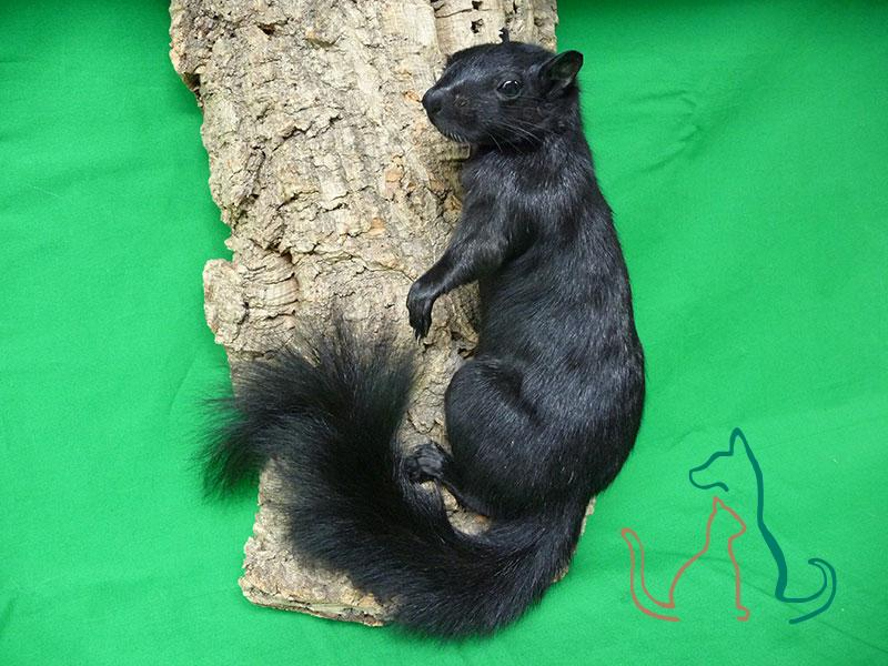 freeze dried black squirrel