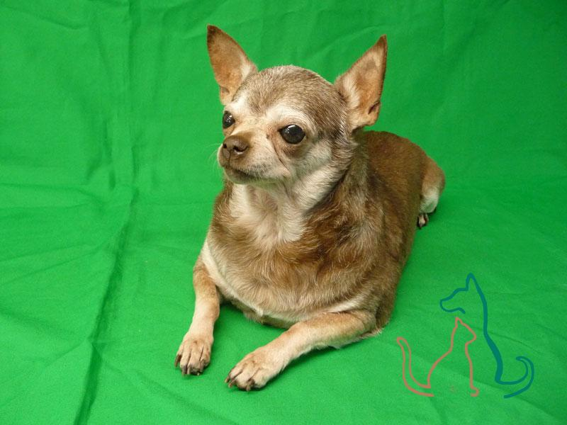 freeze-dried dog Chihuahua
