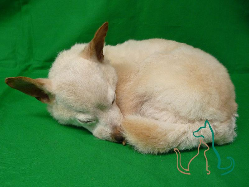 freeze-dried pet Chihuahua
