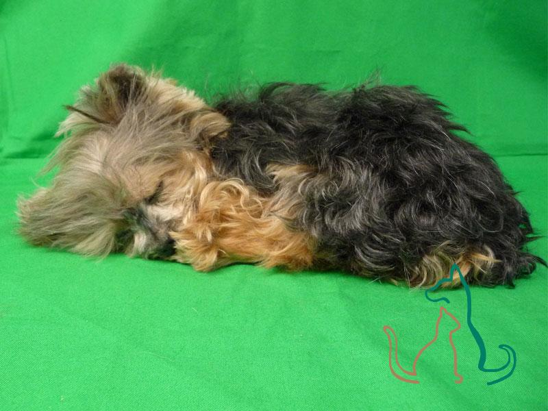 freeze dried pet Yorkie