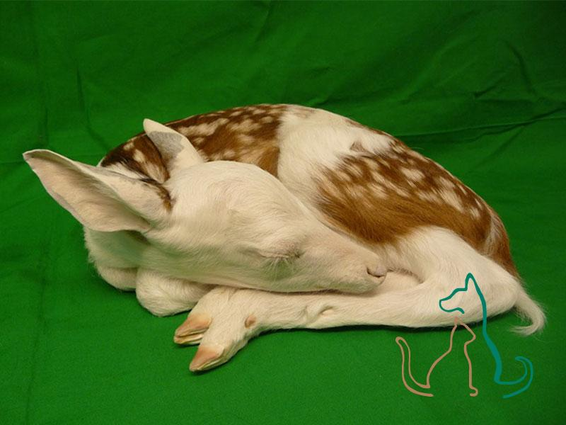 freeze dried piebald fawn