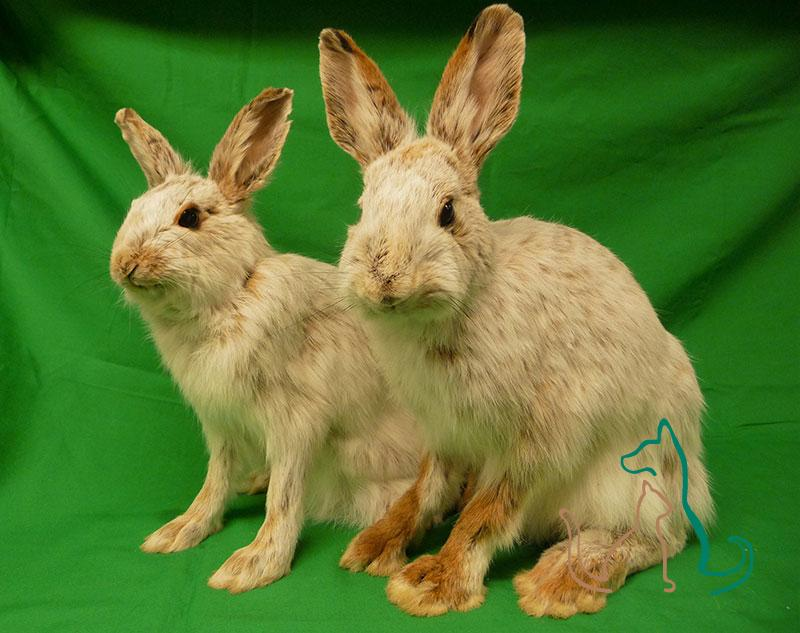 freeze dried snowshoe hares