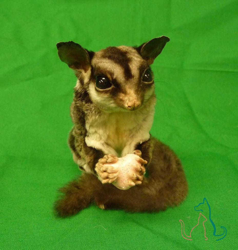 freeze-dried sugar glider