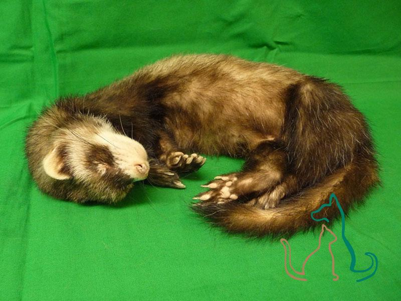 freeze dried pet ferret