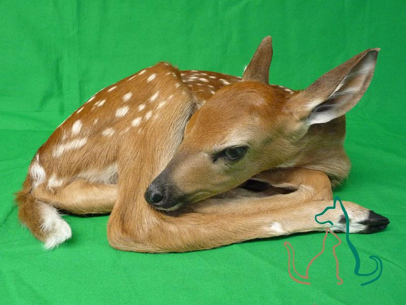 freeze dried whitetail fawn
